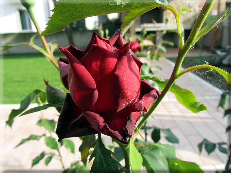 Le rose foto 002 for Riproduzione rose