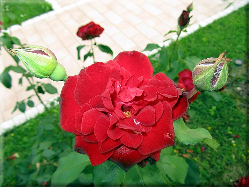 Le rose foto 003 for Riproduzione rose