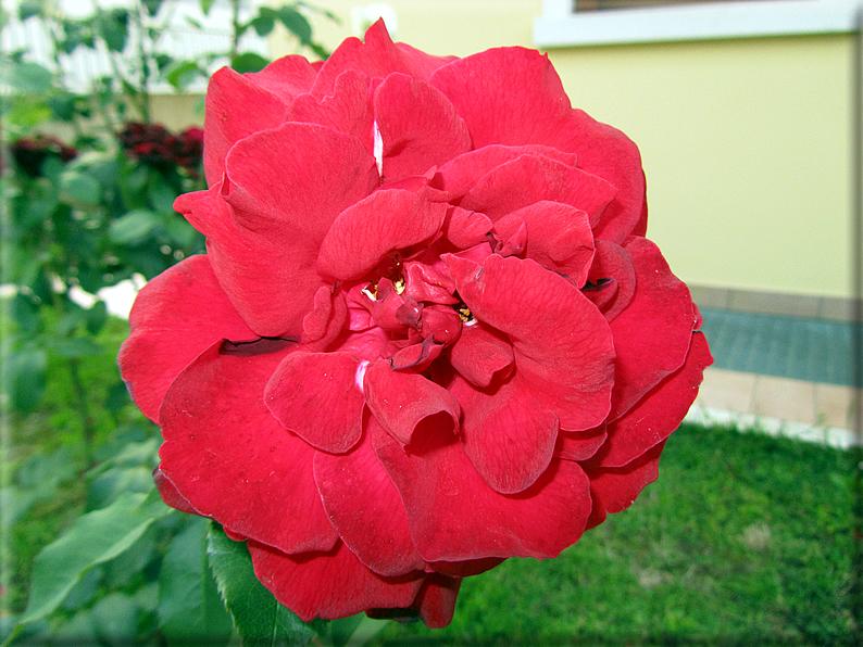 Le rose foto 004 for Riproduzione rose