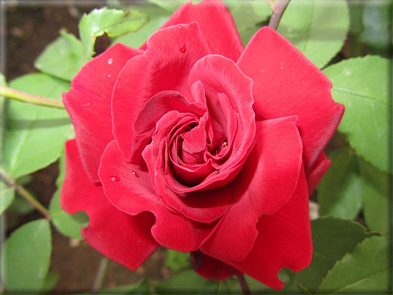 Le rose foto 006 for Riproduzione rose