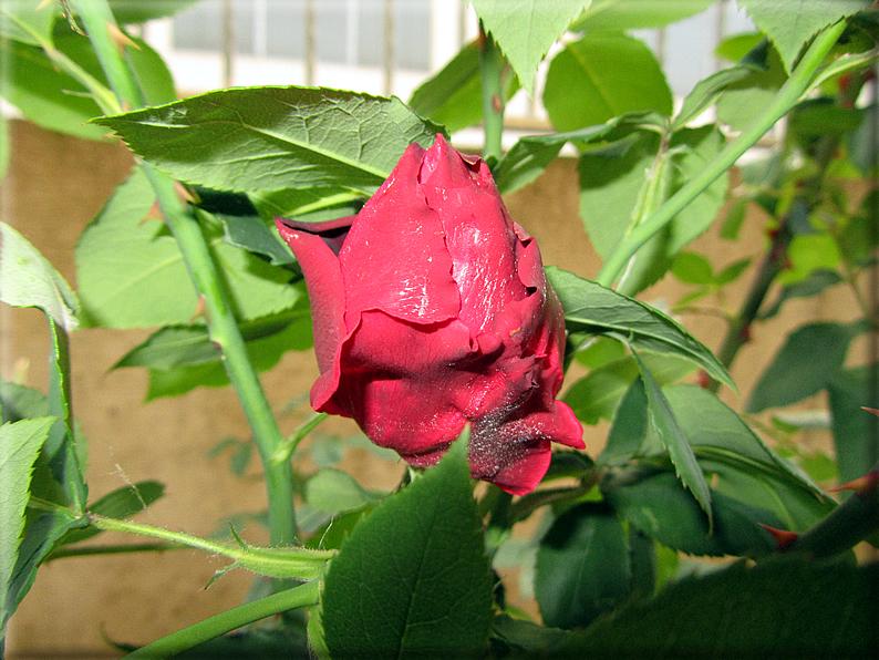 Le rose foto 009 for Riproduzione rose