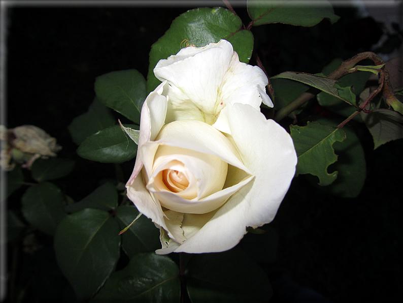 Le rose foto 014 for Riproduzione rose