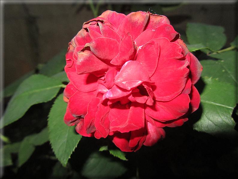 Le rose foto 016 for Riproduzione rose
