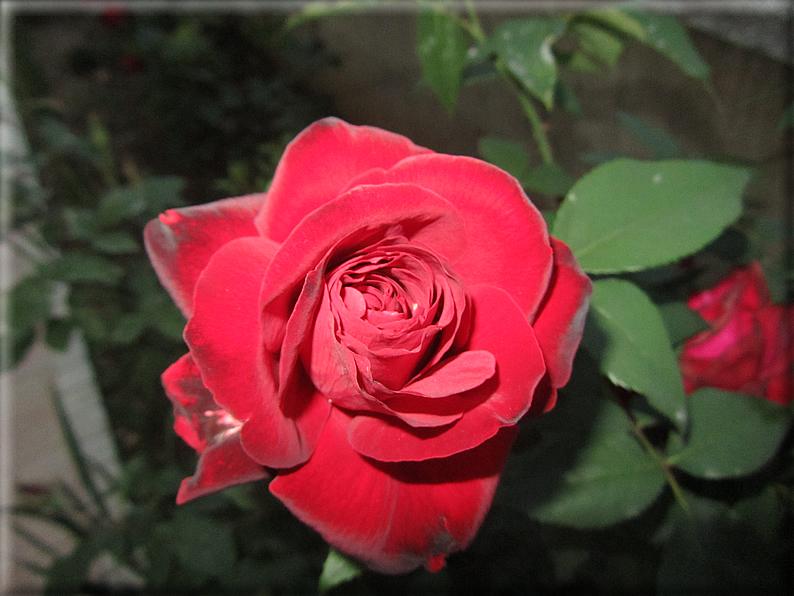 Le rose foto 017 for Riproduzione rose