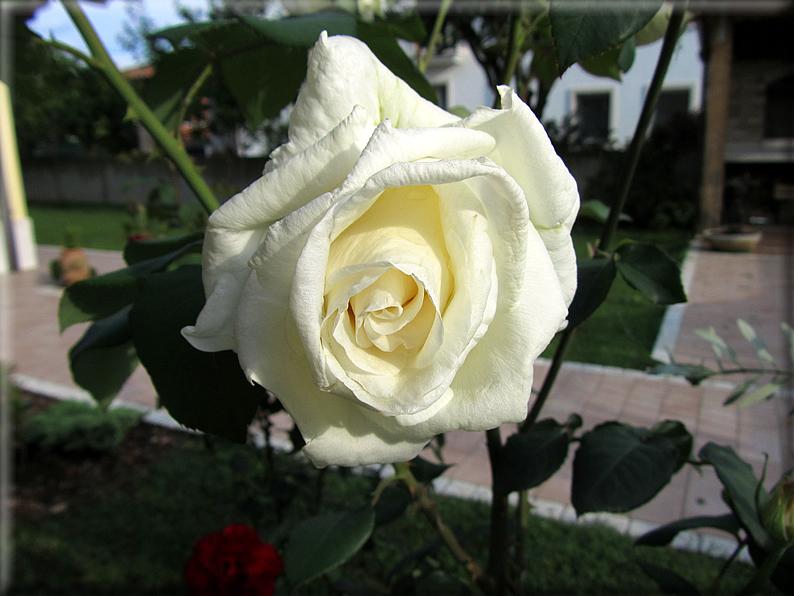 Le rose foto 023 for Riproduzione rose