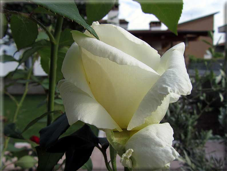 Le rose foto 027 for Riproduzione rose