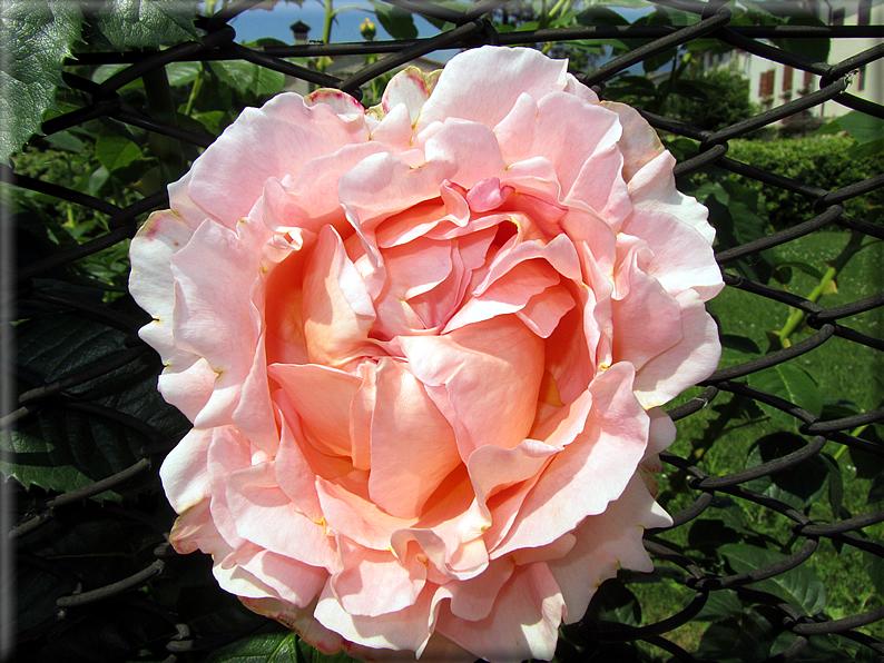 Le rose foto 028 for Riproduzione rose