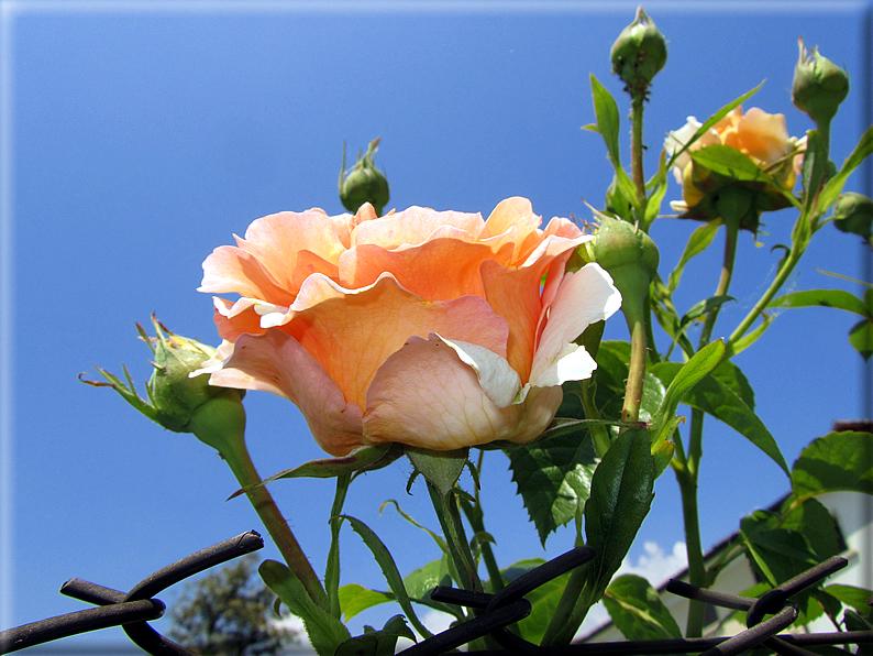 Le rose foto 030 for Riproduzione rose