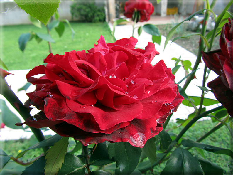 Le rose foto 033 for Riproduzione rose