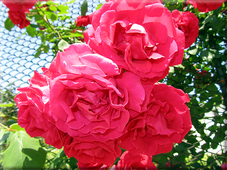 Le rose foto 038 for Riproduzione rose