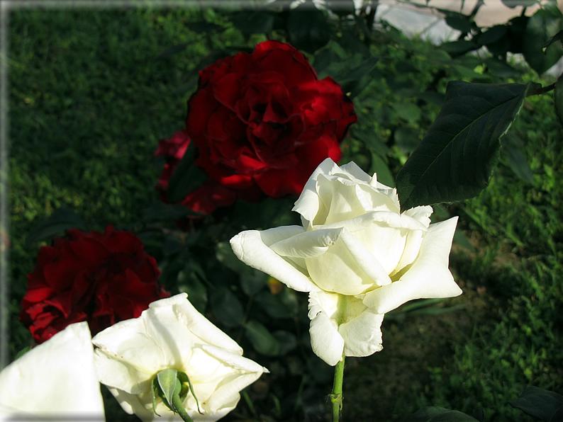 Le rose foto 042 for Riproduzione rose