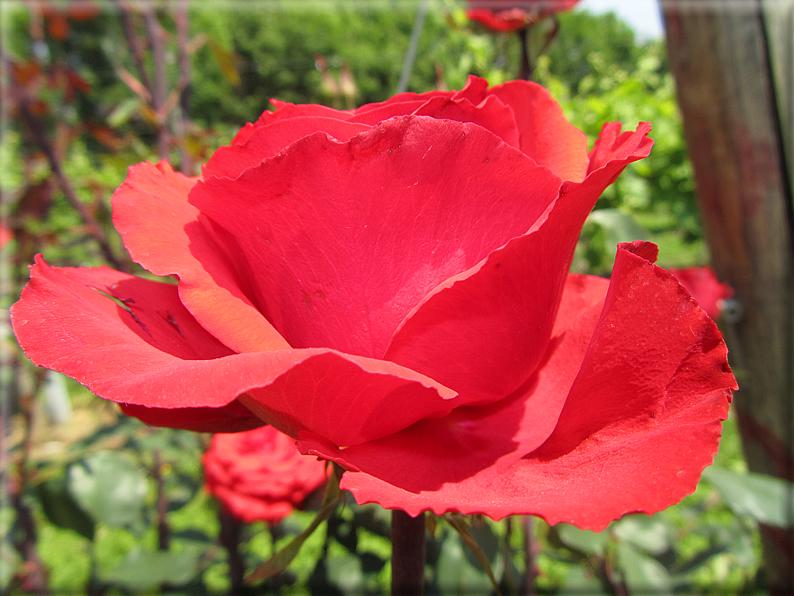 Le rose foto 043 for Riproduzione rose