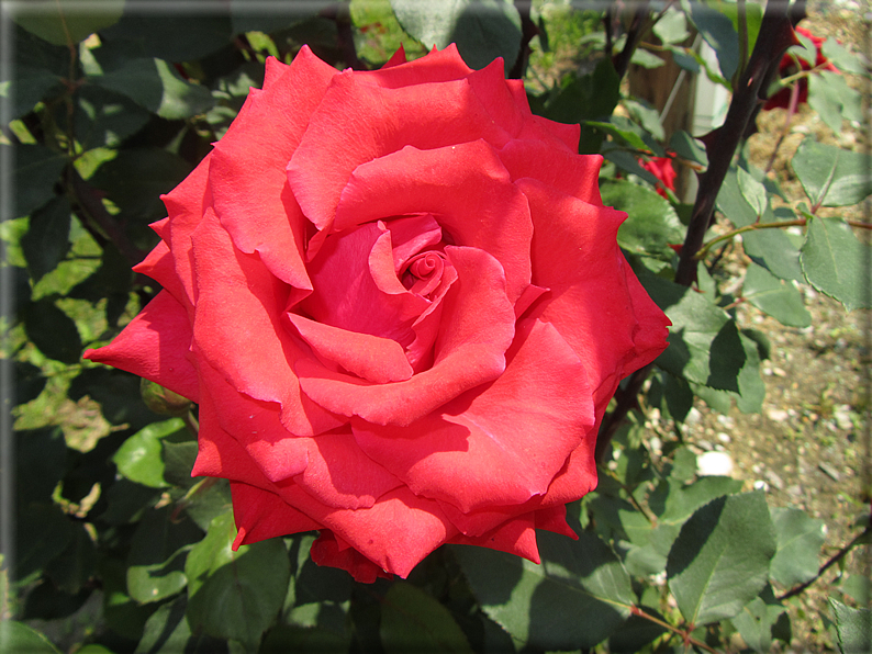 Le rose foto 047 for Riproduzione rose