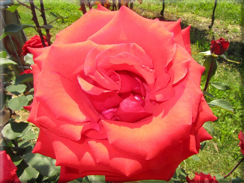 Le rose foto 049 for Riproduzione rose