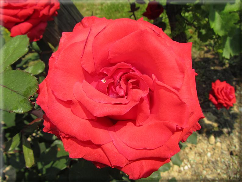 Le rose foto 052 for Riproduzione rose