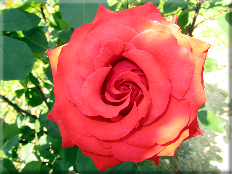 Le rose foto 053 for Riproduzione rose