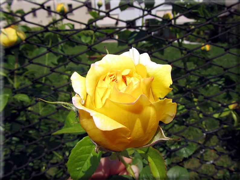 Le rose foto 055 for Riproduzione rose