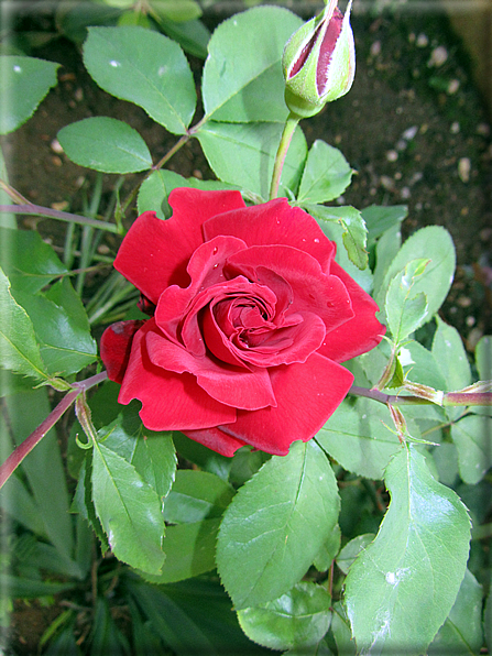 Le rose foto 056 for Riproduzione rose