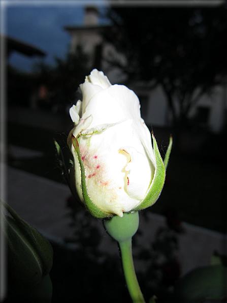 Le rose foto 058 for Riproduzione rose