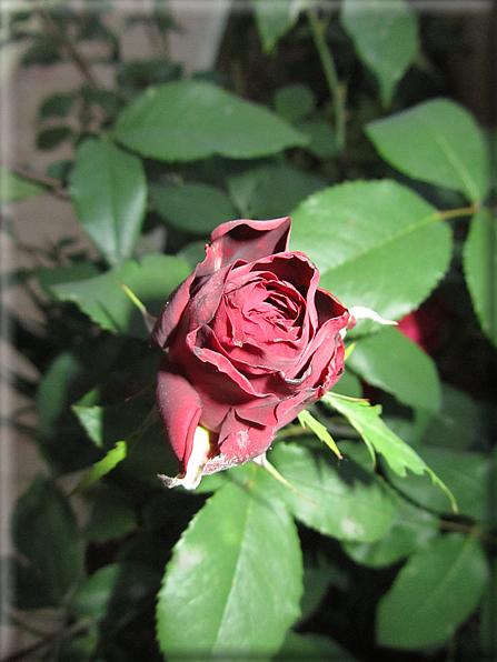 Le rose foto 060 for Riproduzione rose