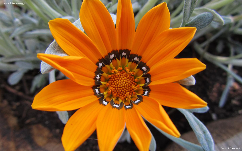 Sfondi per desktop i fiori sfondo 017 for Sfondi desktop fiori